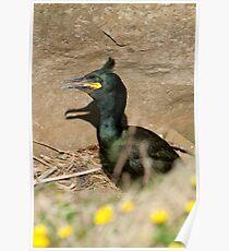 Nesting shag Poster