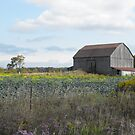 Cabbage's, Canola and Colour by Tracy Wazny