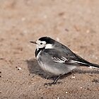Pied Wagtail by suffolkwildlife