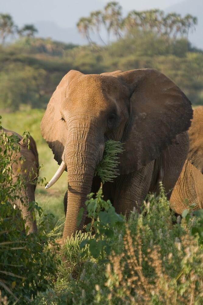 African Elephant by tara-leigh