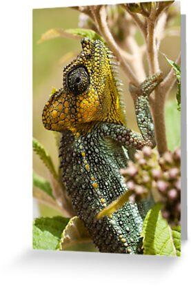 Von Hoehnel's Chameleon by tara-leigh