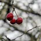 Hanging on - Crabapples in Winter by WesternExposure
