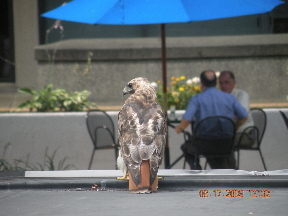 Another picture of the Red-Tailed hawk at Rhode Island Hospital by deborahpuerini