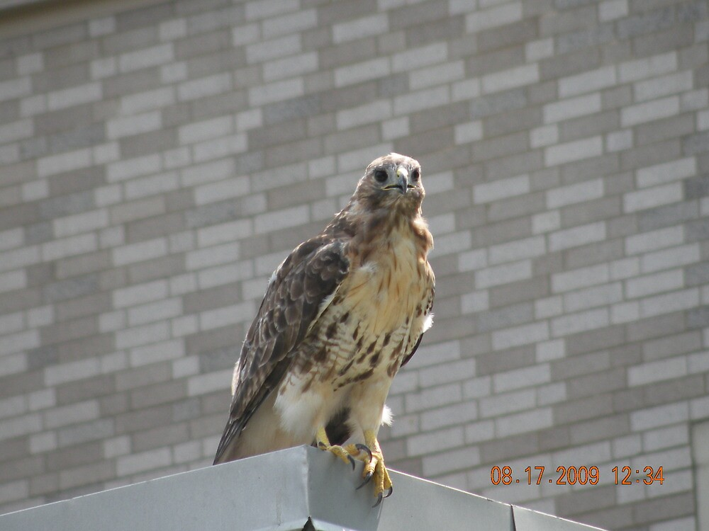 Red tailed hawk near Rhode Island Hospital's Au Bon Pain outside area by deborahpuerini