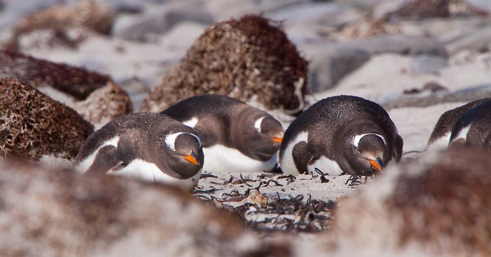 Gentoo Penguins by tara-leigh