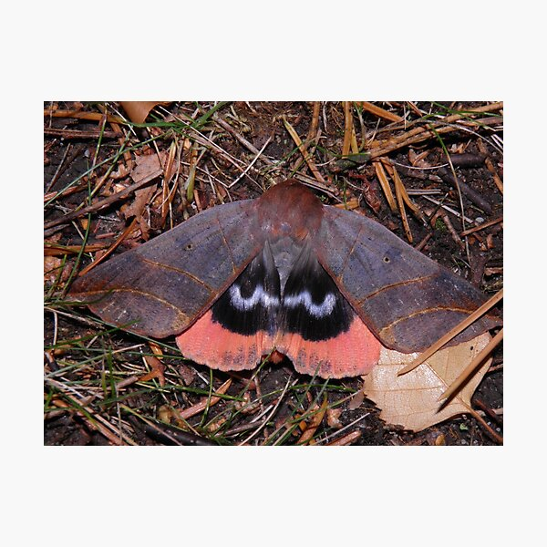 UNDERWING MOTH: Thyas juno Photographic Print