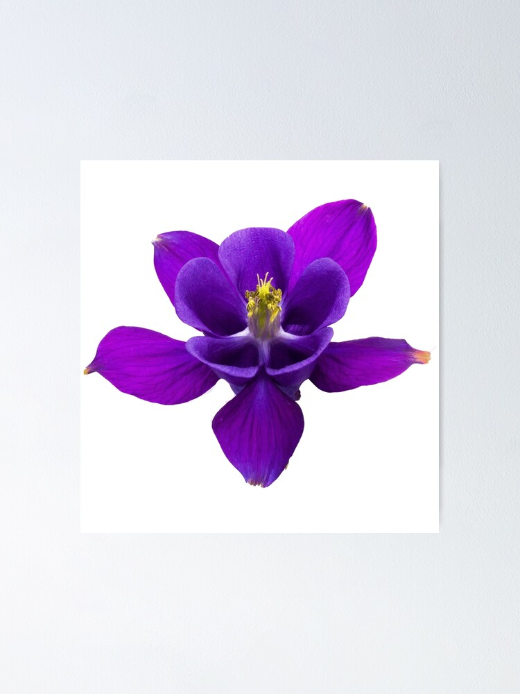 Blue Purple Columbine Poster By Robspencer Redbubble