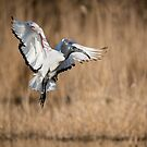 Sacred ibis in flight, Oasi WWF Lago di Alviano, Umbria, Italy by Andrew Jones