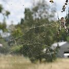 Orb Spider And Her Huge Web by MissyD