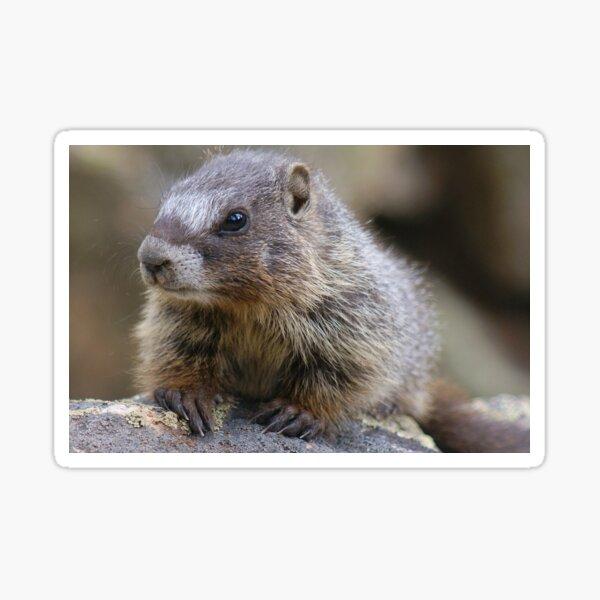 Baby Marmot Sticker