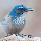 Scrub-Jay with a seed by Eivor Kuchta