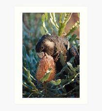 Cheeky Carnaby's feeding on banksia Art Print