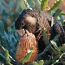 Cheeky Carnaby's feeding on banksia by margowen