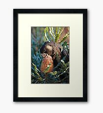 Cheeky Carnaby's feeding on banksia Framed Print
