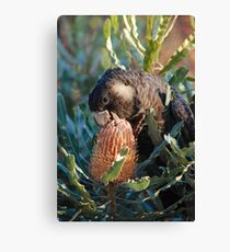 Cheeky Carnaby's feeding on banksia Canvas Print