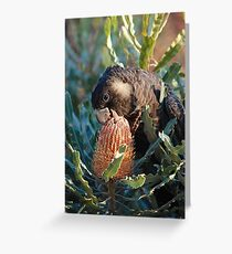 Cheeky Carnaby's feeding on banksia Greeting Card