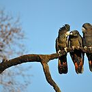 Family of Red-Tail Cockatoos at Feeding Time by margowen