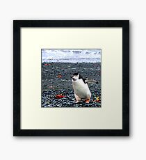 Chinstrap penguins in Antarctica,    10 Framed Print