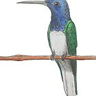 White-necked Jacobin by Tamar  van Niekerk