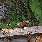 A small selection of my garden birds by missmoneypenny