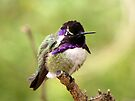 Costa's Hummingbird ~ Male by Kimberly Chadwick