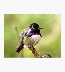 Costa's Hummingbird ~ Male Photographic Print