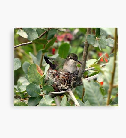 Costa's Hummingbird ~ Female; Nesting Canvas Print