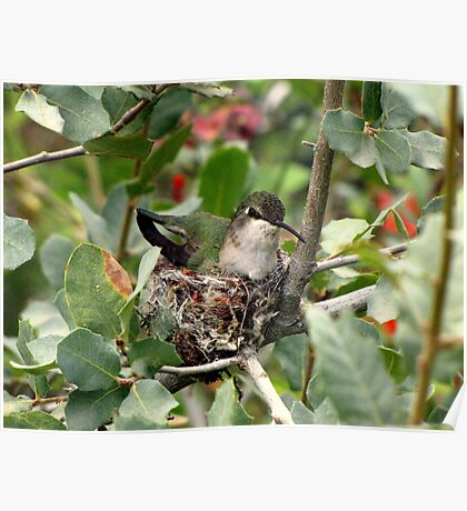 Costa's Hummingbird ~ Female; Nesting Poster