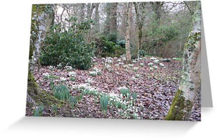 Snowdrops at Ballymaloe Woodland,Co Cork. by Pat Duggan