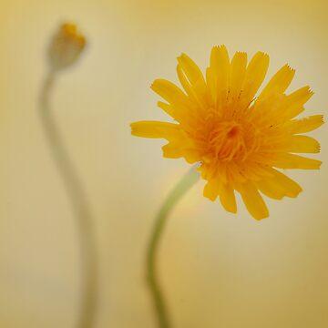 Daisy by lilyjane
