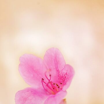 Dusty pink by lilyjane