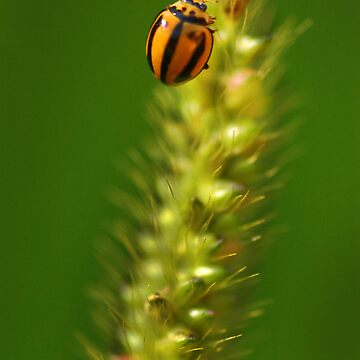 Lady beetle by lilyjane