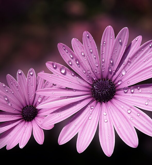 DEW DROPS ON DAISIES by Valerie Anne Kelly