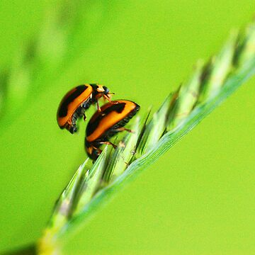 Lady beetles  by lilyjane