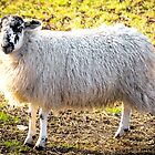 A Sheep by JEZ22
