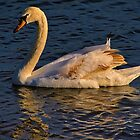 Late Evening Swan Swim by TJ Baccari Photography