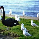 Black Swan - elegant & beautiful, The Strand, Williamstown by EdsMum