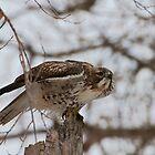 Hawk by Gary Lengyel