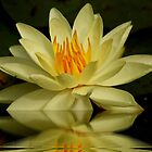 Yellow Waterlily by AnnDixon
