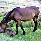 Dartmoor Pony by Lesliebc