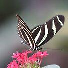 Black & white Zebra longwing (Heliconius Charitonius)  by DutchLumix