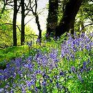 Devon Bluebells by LeRoyM