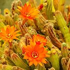 Orange/red Cactus flowers by DPalmer