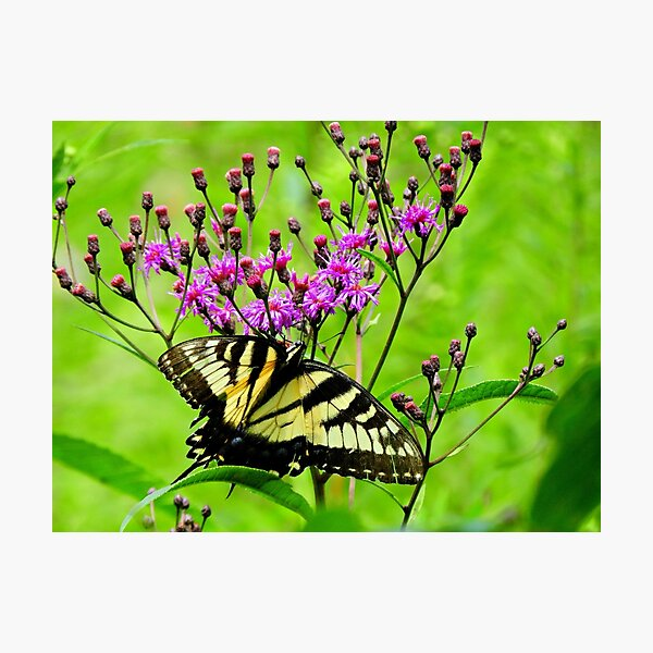 Visiting the Ironweed Photographic Print