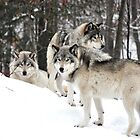 Timber Woles aka Grey Wolves _ Canis Lupus! by Poete100