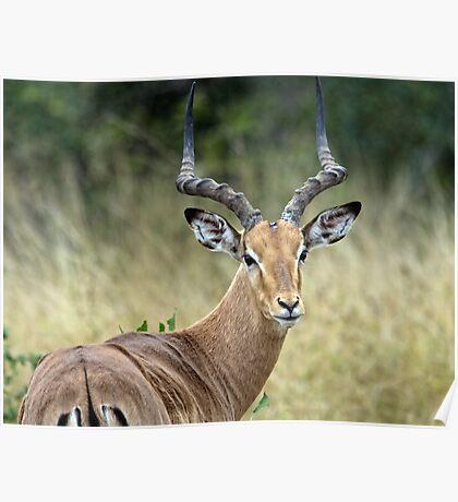 Impala Male Poster