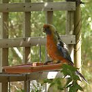 Rosella in molt on water tray! by Rita Blom