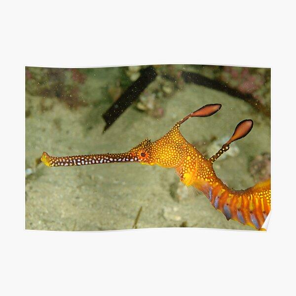 Weedy sea dragon head Poster