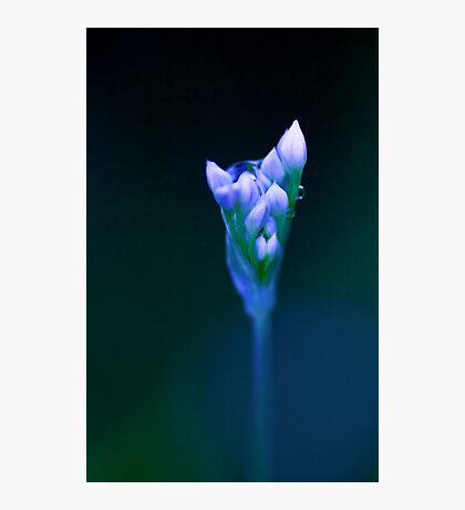 Out of the Blue - chive flower  Photographic Print