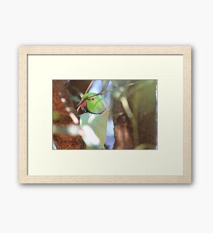 Blue-eyed Boy in my garden Framed Print